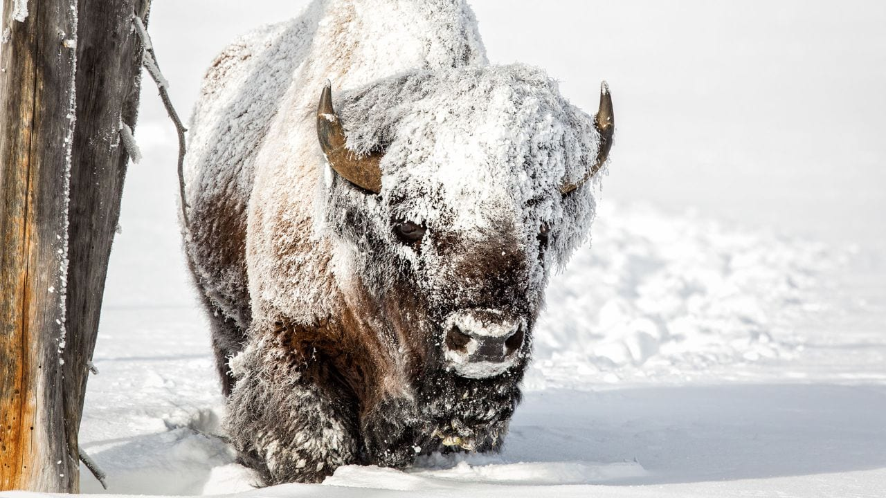 A frost-covered bison walks in Lamar Valley at Yellowstone National Park.